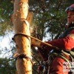 Удаление и спил сосен промышленными альпинистами