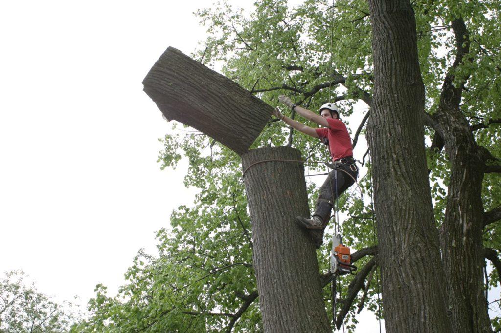 Удаление и спил дерева. Два гнезда в одном стволе!